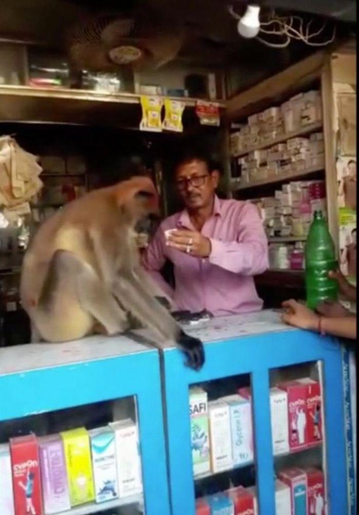 Monyet berlumuran darah pergi ke apotek