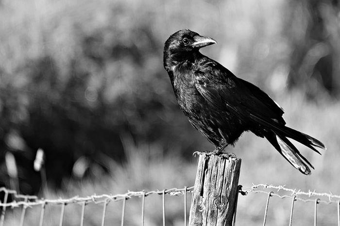 ilustrasi burung gagak