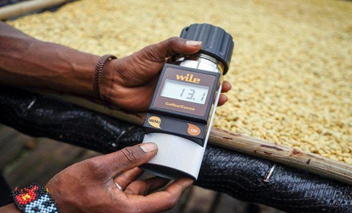Pekerja mengukur kadar air pada biji kopi di rumah produksi pengolahan Kopi Tiyom, Gunung Susu, Distrik Hubikosi, Wamena, Kabupaten Jayawijaya, Papua.