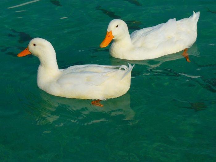 Tafsir mimpi menangkap bebek laut togel