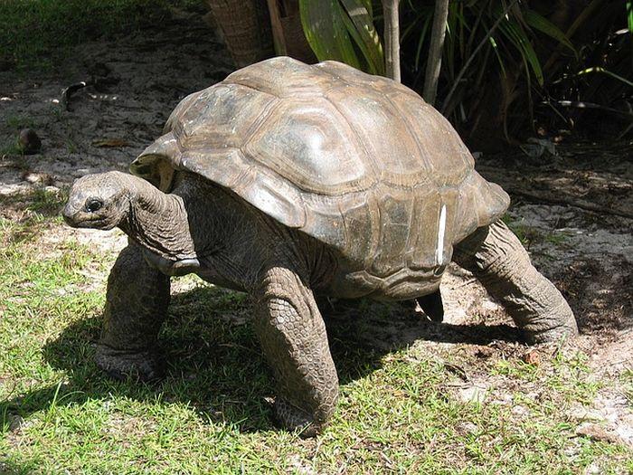Ilustrasi kura-kura besar