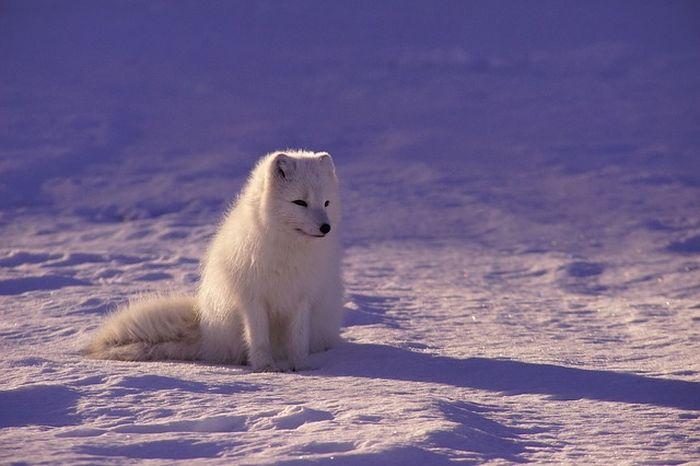 Ilustrasi serigala putih