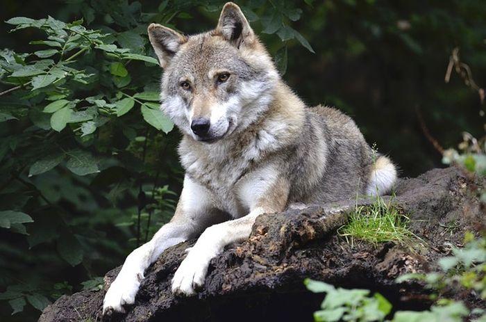 Ilustrasi serigala