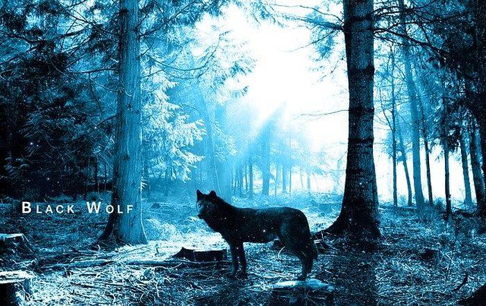 Ilustrasi serigala hitam