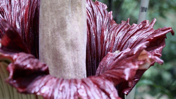 Bunga bangkai (Amorphophallus titanum).