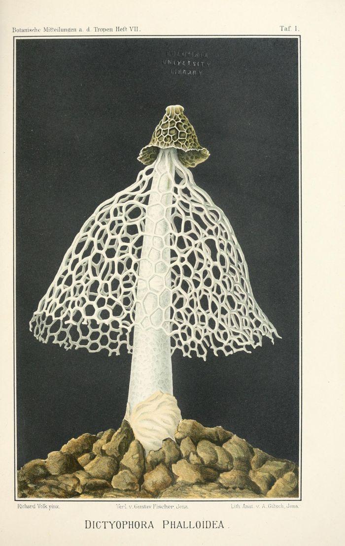 Ilustrasi Dictyophora phalloidea.