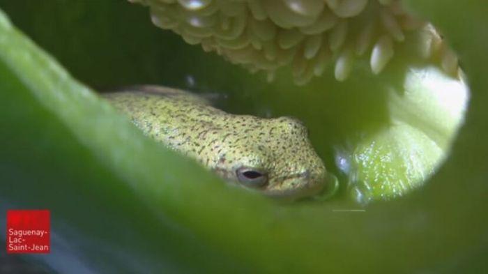 Katak hijau dalam paprika