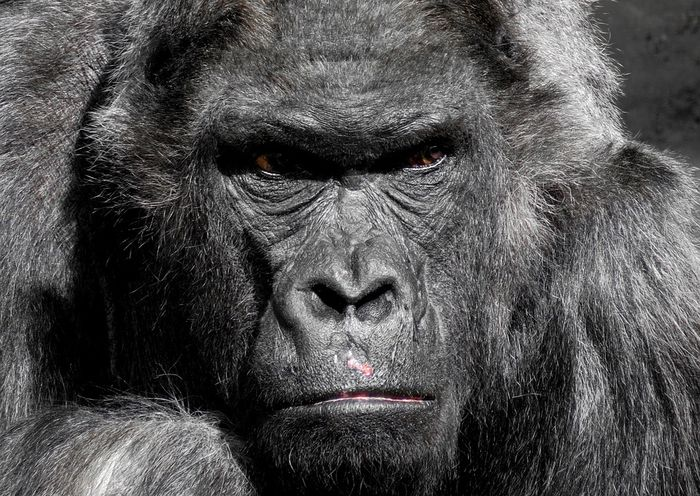 Ilustrasi monyet besar