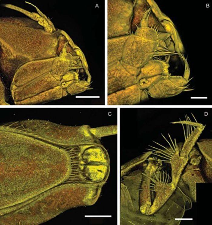 Gambar mikroskopis dari Macrostylis Metallicola.