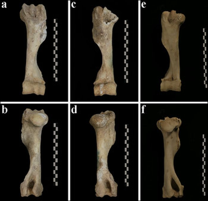 Tulang keledai ini menjadi bukti bagaimana keledai digunakan untuk polo di masa lalu.