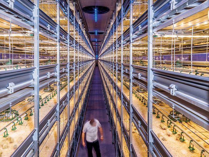 Seiring permintaan daging ayam yang terus meningkat, sejumlah perusahaan Belanda mengembangkan teknologi untuk memaksimalkan produksi sambil memastikan kondisinya tetap manusiawi. Kandang broiler berteknologi tinggi ini dapat menampung hingga 150.000 ekor unggas.