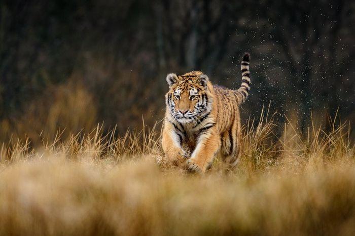 Ilustrasi Harimau di habitat aslinya