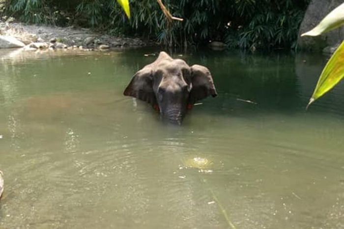 Sebelum mati, gajah ini terlihat sedang berendam di sungai. Kemungkinan untuk meredakan perih dari petasan yang meledak di mulutnya.