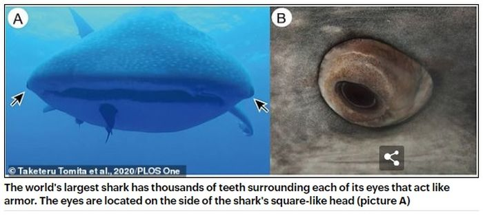 Hiu terbesar di dunia memiliki ribuan gigi yang mengelilingi setiap matanya yang bertindak seperti baju besi. Mata terletak di sisi kepala (gambar A)