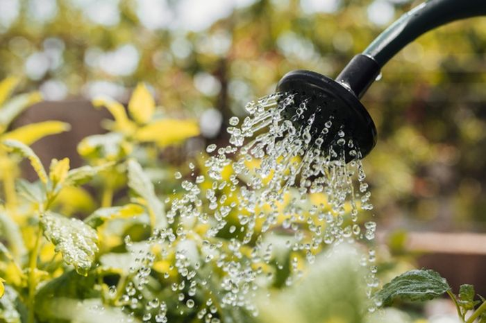Ilustrasi menyiram tanaman dengan air yang dicampur micin.