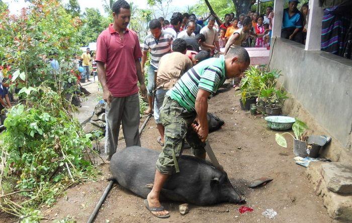 Ngana atau babi dalam Bahasa Bajawa tidak hanya digunakan sebagai hewan kurban saja. Tetapi ia juga menjadi hewan kultural orang Bajawa.