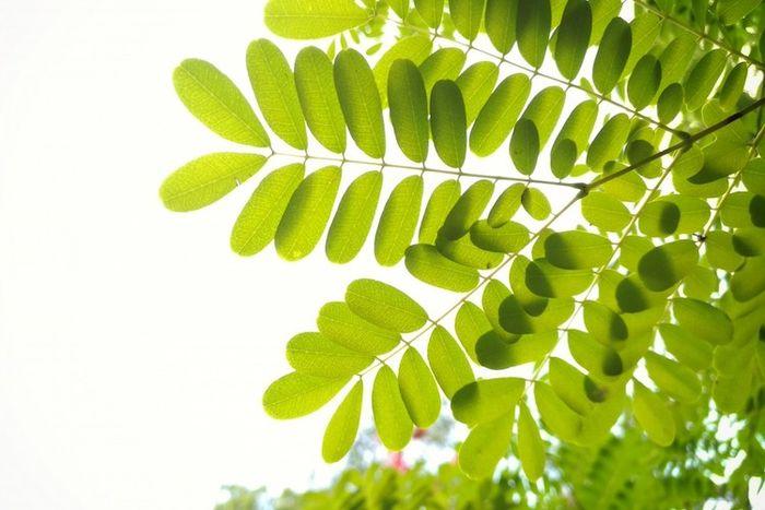 Manfaat daun kelor bagi kesehatan.