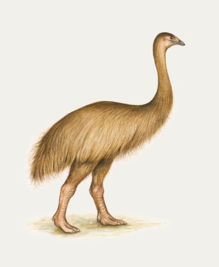 Moa, burung Selandia Baru yang tidak bisa terbang.  Burung legendaris ini telah punah.