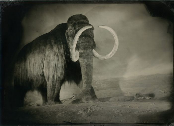The mammoths were pushed into eastern Siberia at the end of the Ice Age, about 10,000 years ago, and gradually became extinct.