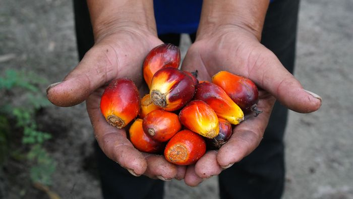 Buah kelapa sawit menghasilkan dua jenis produk, Crude Palm Oil (CPO) dan Palm Kernel Oil (PKO). CPO