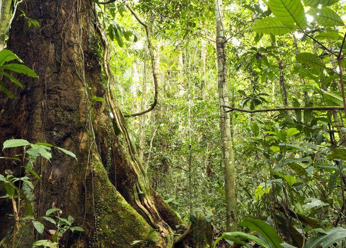Ilustrasi hutan adat.
