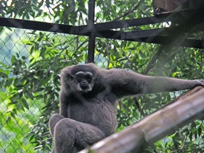 Seekor Owa jawa yang berada di dalam Pusat Penyelamatan dan Rehabilitasi Owa Jawa.