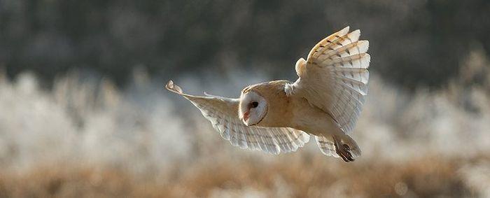 Teknik terbang handal yang dimiliki burung hantu tak lepas kaitannya dari tepi bagian depan sayapnya