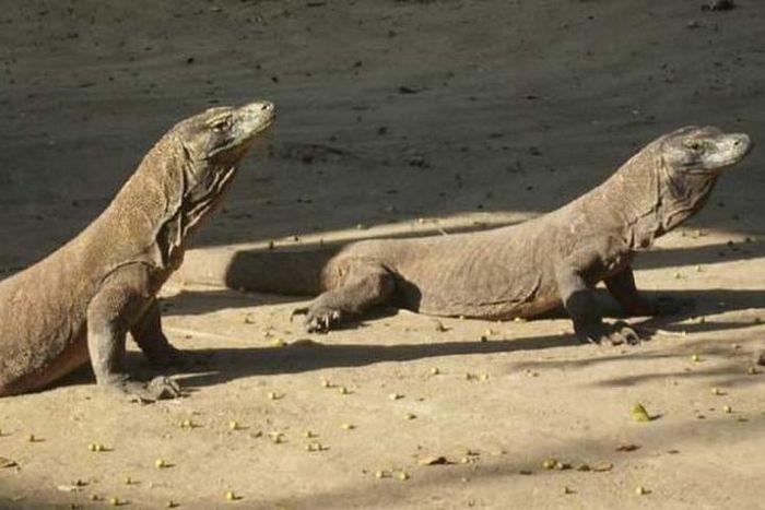 Komodo di Taman Nasional Komodo, Kabupaten Manggarai Barat, Nusa Tenggara Timur.