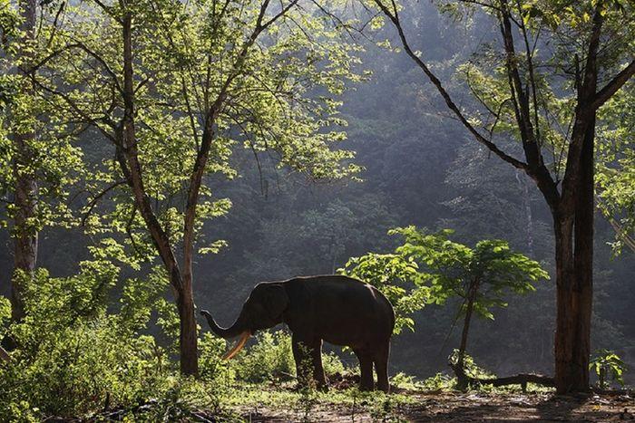 Gajah sumatera yang berada di CRU Sampoiniet, Kabupaten Aceh Jaya.