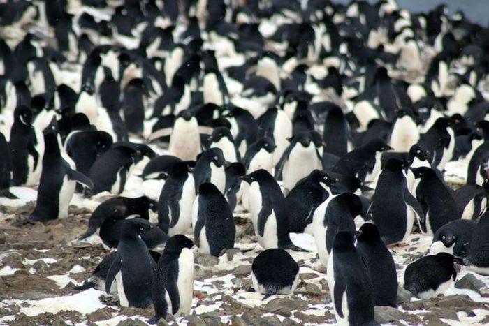 Koloni penguin Adelie yang baru ditemukan di Kepulauan Danger.