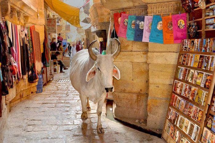 Sapi yang berkeliaran di India sudah menjadi pemandangan yang lumrah