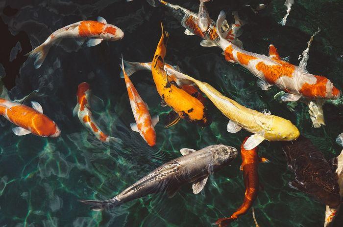 Kolam ikan koi bisa membawa keberuntungan