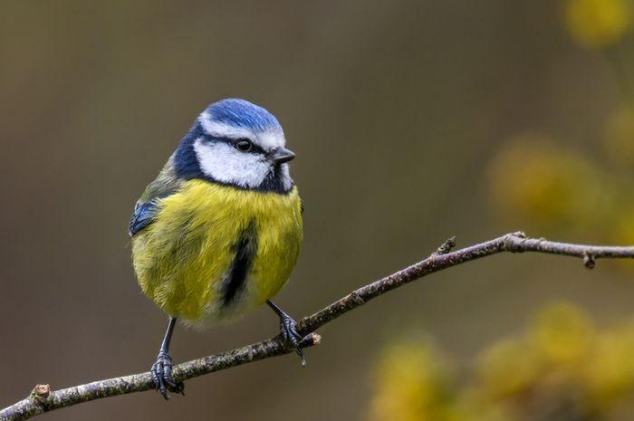 Burung blue tit