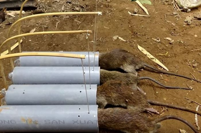 Jebakan tikus dengan pipa.