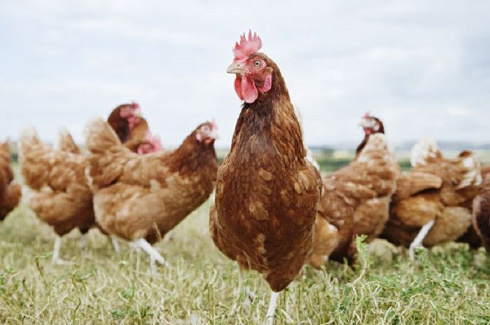 Ayam super ini merupakan campuran dari berbagai bibit unggul