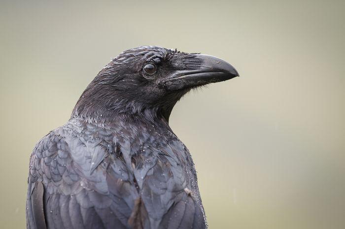 Burung gagak.