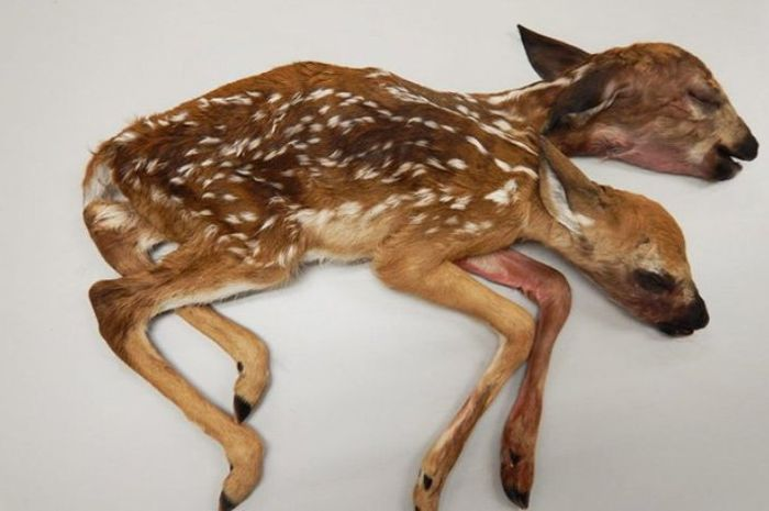 Rusa berkepala dua yang ditemukan di hutan Minnesota.