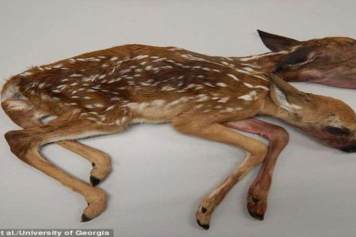 Anak rusa berkepala dua yang telah lahir