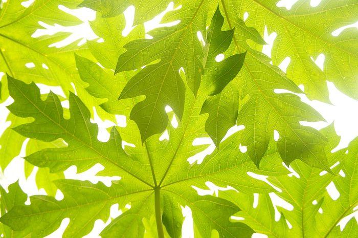Jus daun pepaya punya banyak manfaat kesehatan