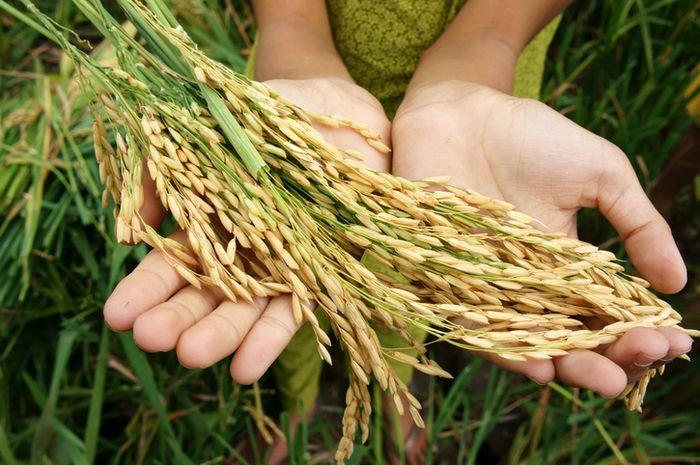 Perubahan iklim berpengaruh pada kualitas gizi padi.