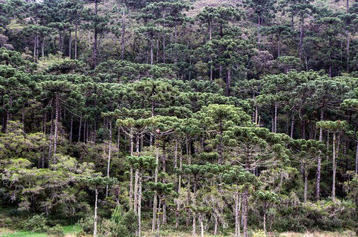 Hutan Araucaria