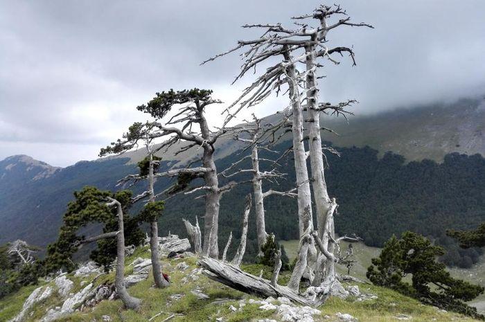 Pohon tertua di Eropa yang ditemukan peneliti di Taman Nasional Pollino.