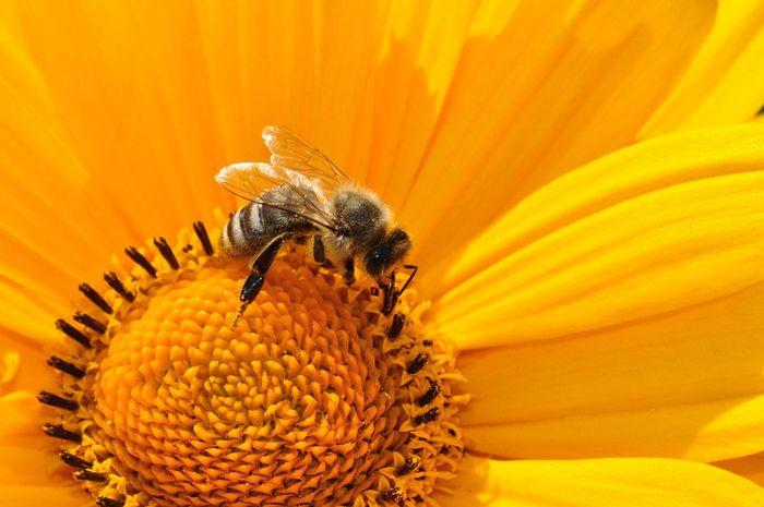 Serbuk sari bunga matahari bisa meningkatkan kesehatan lebah