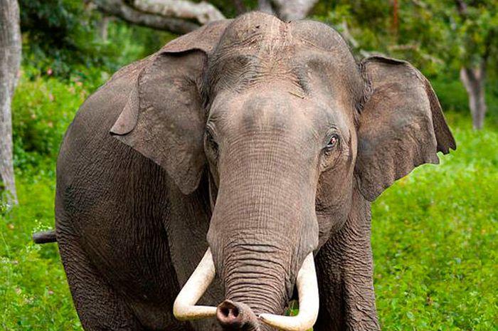 Ilustrasi gajah.