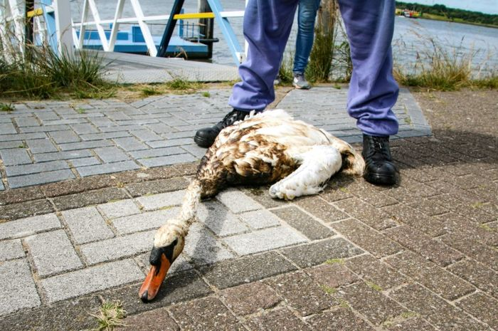 Secara keseluruhan, baru 300 burung yang berhasil ditangkap dan dibersihkan dari tumpahan minyak.