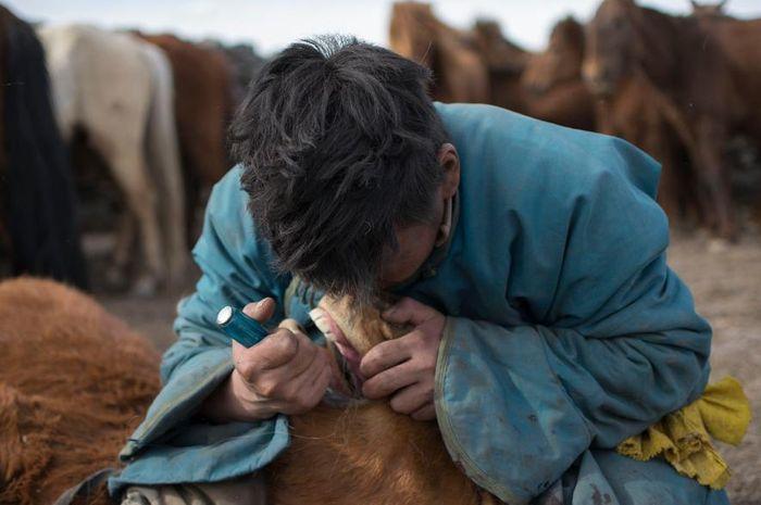 Hingga saat ini, orang-orang Mongolia masih memotong 'gigi serigala' kuda.