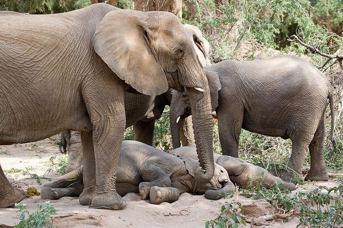 Fakta unik tidur gajah.