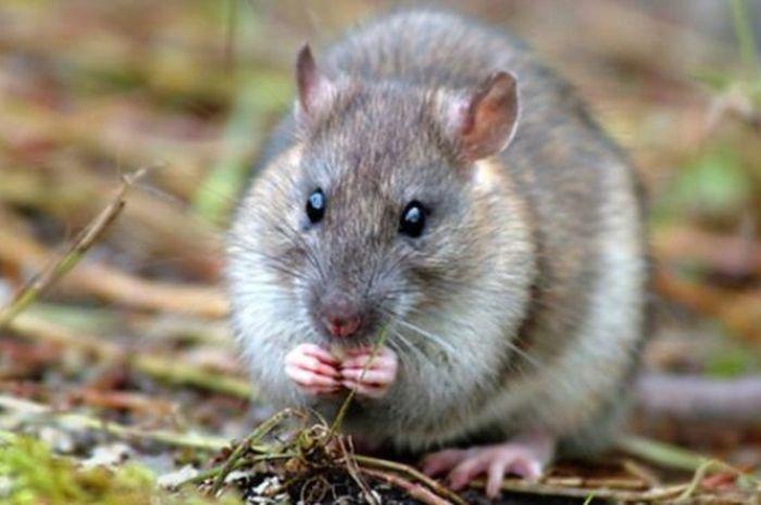 Keberadaan tikus bisa merusak ekosistem laut