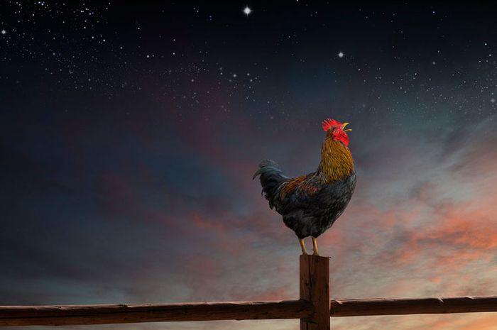 ayam jantan berkokok di tengah malam