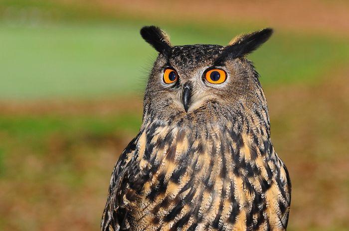 Burung hantu memiliki penglihatan yang tajam.